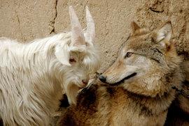 козел, волк