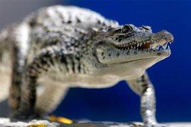 В интернет попало видео свадьбы мэра одного мексиканского города... с крокодилом