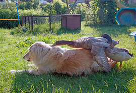 утка, собака, дружба