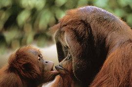 обезьяна, поцелуй