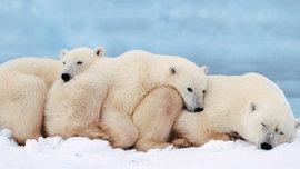Ученые утверждают, что белых медведей буквально через десятилетие ждёт очень печальная судьба