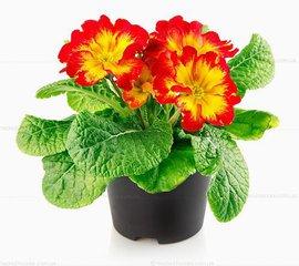 язык цветов, домашние растения, цветы, топ-10, цветок в горшке
