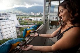 попугаи, ара, Венесуэлыа
