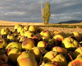Польша не продала яблок на 500 миллионов долларов