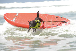 Собаки, серфинг