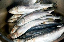 На Балтике будут больше ловить салаки и кильки