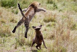 Леопард, бородавочник