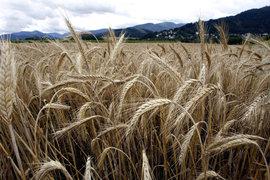 зерно, колосья, поле