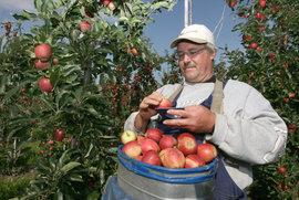 садовод, яблоки