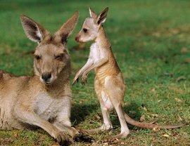 'России грозит острая нехватка кенгуру из-за санкций Австралии', - заявил в интервью Pravda.Ru депутат Госдумы Виктор Водолацкий. О других опасностях - подробнее: